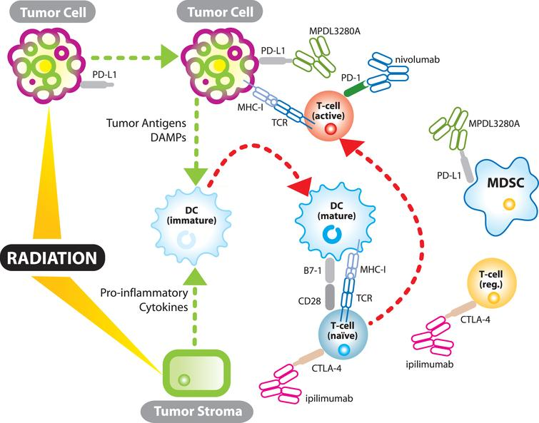 The synergistic relationship between immunotherapy and radiation. TCR – T-cell receptor; MHC-I – major histocompatability complex 1; DC – dendritic cell; MDSC – myeloid derived suppressor cell; DAMPs- damage associated molecular patterns (endogenous adjuvants which mature dendritic cells); T-cell (reg.) – regulatory T-cell.
