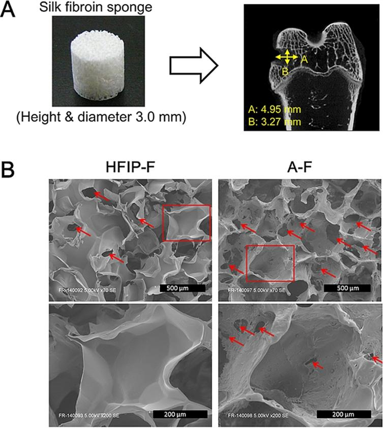 Effect Of The Surface Morphology Of Silk Fibroin Scaffolds