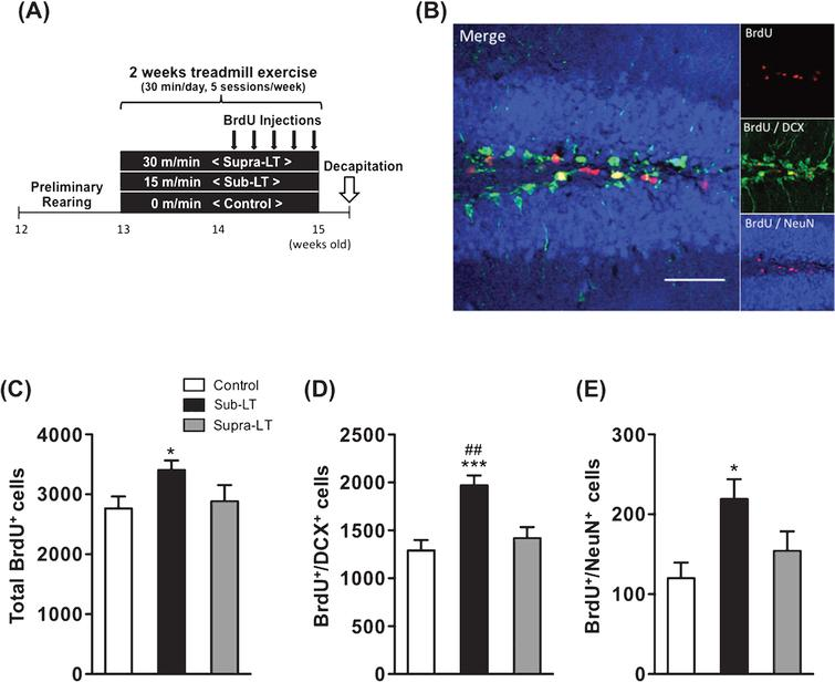 Effects of different exercise intensities on adult neurogenesis of male mice (A) Timeline of experiment, (B) A representative confocal micrograph of triple labeling of BrdU (red), the immature neuron marker DCX (green), and the mature neuron marker NeuN (blue) in the hippocampal dentate area. Scale bars, 50μm. (C) Total number of BrdU+ cells (F (2,21)  = 3.65, p = 0.044). (D) Number of BrdU+/DCX+ cells (F (2,21)  = 10.69, p = 0.0006). (E) Number of BrdU+/NeuN+ cells in the dentate gyrus (F (2,21)  = 4.69, p = 0.02). Data represent the mean ± SEM (n = 8 mice per group). *, p <  0.05, ***, p <  0.001 in comparison to control mice and # # , p <  0.01 in comparison with supra-LT (one-way ANOVA Tukey post hoc tests).
