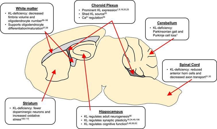 Klotho, the Key to Healthy Brain Aging? - IOS Press