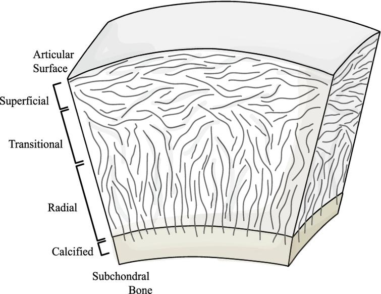 Quantifying collagen fibre architecture in articular