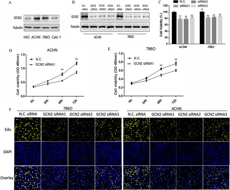 Knockdown Of GCN2 Inhibits Renal Cancer Cell Viability A The Expression