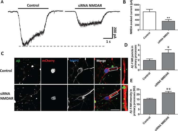 NMDARs affect Aβ association in hippocampal neurons. A) Representative traces of NMDA-evoked currents in control and after transfection with siRNAs geared towards the NMDAR (NR1 and NR2B subunits). The black bar represents the time of NMDA perfusion (100 μM). B) Plot showing the decrease in the amplitude of NMDA-evoked currents for the siRNA-transfected neurons versus control. C) Immunofluorescence showing Aβ-FAM (green) association (1 μM, 1 h) to control and siRNA transfected neurons. MAP2 stained the neurons (blue) and mCherry was used as a control for transfection (red). The white bottom bar represents 20 μm of length. D, E) Plots show the Aβ-FAM puncta number and fluorescence intensity in primary processes (20 μm) for control and transfected neurons. *p < 0.05, **p < 0.01.