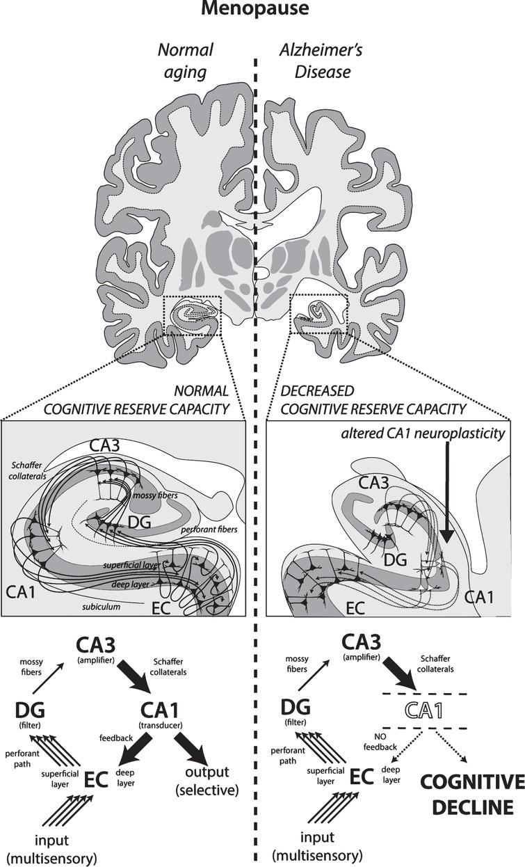 Gender Specific Degeneration Of Dementia Related Subcortical Dsc Gs Boost Wiring Diagram According To Major Communication Pathways The Hippocampal Circuit Multisensory Input Information Enters Primarily Entorhinal