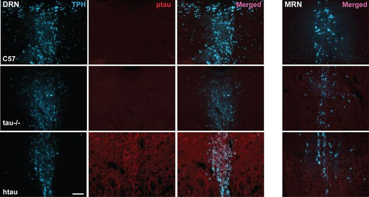 Phosphorylated tau (ptau) accumulation in trytophan hydroxylase (TPH)-positive cells of the DRN is evident in 4-month-old htau mice. Photomicrographs of immunofluorescent-stained DRN sections are shown in the first three columns for C57, tau-/-, and htau mice. All mice exhibit distinctly-labeled TPH cells; however, ptau-231 label is non-existent in C57 and tau-/- DRN. ptau-231 immunofluorescence is obvious in DRN sections of 4-month-old htau mice with substantial co-label of this marker in TPH-positive cells. Fourth column: Photomicrographs of merged channels of TPH and ptau for MRN from each respective animal. Note that ptau-231 fluorescence in htau MRN is weak compared to DRN. Scale bar = 100 μm.