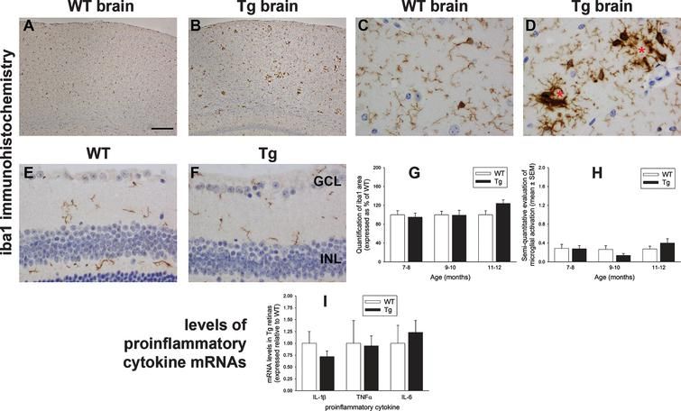 Analysis of microglia and proinflammatory cytokine levels in WT and Tg mice. Representative images of iba1 immunolabeling in 10-month-old WT and Tg parietal cortex (A, B) and hippocampus (C, D). In Tg brains, reactive microgliosis is evident surrounding amyloid plaques, signified by red asterisks. E, F) Representative images of iba1 immunolabeling in 11-month-old WT and Tg retina. Microglia in both cohorts display ramified morphologies. G, H) Quantitative evaluation of iba1 area and semi-quantitative evaluation of activations status of iba1-positive cells. (I) Levels of IL-1β, TNFα, and IL-6 in Tg retinas as measured by qPCR. Data are normalized for GAPDH and expressed relative to WT. For all analyses, data are expressed as mean±SEM, where n=10 for each age-matched group. Student's unpaired t-tests revealed no significant differences between WT and Tg cohorts for any of the parameters measured. Scale bar: A, B=250 μm; C-F=25 μm. GCL, ganglion cell layer; INL, inner nuclear layer; ONL, outer nuclear layer.
