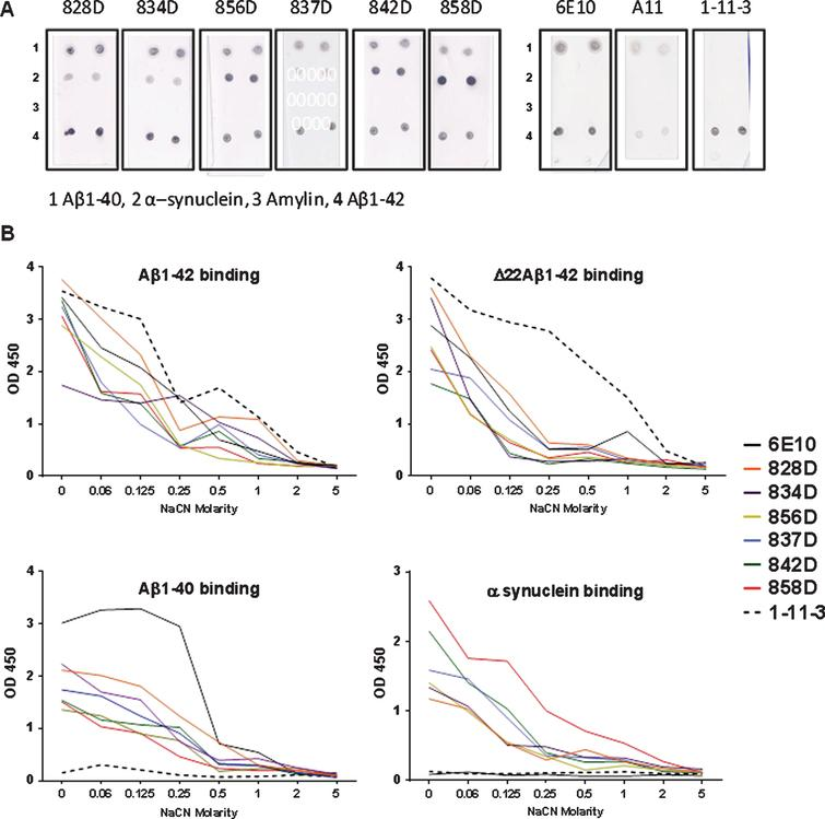 Comparison of the antibody binding of plasma from six rabbits with the commercial anti-Aβ42 antibodies, 6E10 and 1-11-3, and the anti-oligomer antibody A11 in a dot-blot assay (A) and NaCN Affinity ELISA (B). A) Nitrocellulose filters contained duplicate spots of the peptides indicated on the bottom of the filters (1–4). Filters were incubated with the different rabbit plasma samples or monoclonal antibodies as noted above of each of the membranes. Rabbit plasma was used in a 1:200 dilution, the moabs 6E10 and 1-11-3 had been used in a 1:5.000 dilution, A11 was used in a 1:2.000 dilution. B) Avidity of the antibody binding was studied using the chaotrophic salt NaCN in different concentrations. A comparison of binding of the rabbit plasma samples and moabs 6E10 and 1-11-3 to Aβ1-42, Δ22Aβ1-42, Aβ1-40, and α-synuclein is shown. Rabbit plasma samples (0.2 mg/ml) were used in a dilution 1:500; 6E10 and 1-11-3 (1 mg/ml) were used in a dilution 1:5.000. Samples were tested in triplicates, mean values are shown.