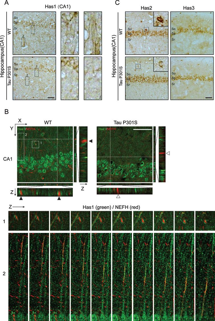 TauP301S expression inhibits the axonal-localization of Has1 in hippocampus. A, B) Immunohistochemical analyses (A) and immunofluorescence images (B) revealing the expressions and the distribution of Has1 in CA1 of the wild-type (WT) and TauP301S Tg (Tau P301S) mice (10-month-old). The enlarged regions of A showing the axonal-localization of Has1 in WT and TauP301S Tg mice. The lower panels of B are the enlarge Z section images of box 1 and 2 in the upper panel, showing the relative localization of Has1 (green) and NEFH (red) in the stratum radiatum of hippocampus. Scale bar = 50μm. C) Immunohistochemical analyses revealing the expressions of Has2 and Has3 in CA1 of WT and TauP301S Tg mice. Scale bar = 50μm.