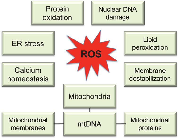 Molecular targets of ROS. While multiple sites in the cell can contribute to ROS production, uncontrolled ROS generation in mitochondria could impair a major source of energy in the cell resulting in detrimental consequences to the whole cellular environment. Intermediate levels of ROS can gradually affect multiple cellular functions including loss of synaptic activity, while critically damaged mitochondria can trigger a release of cytochrome c activating apoptosis.