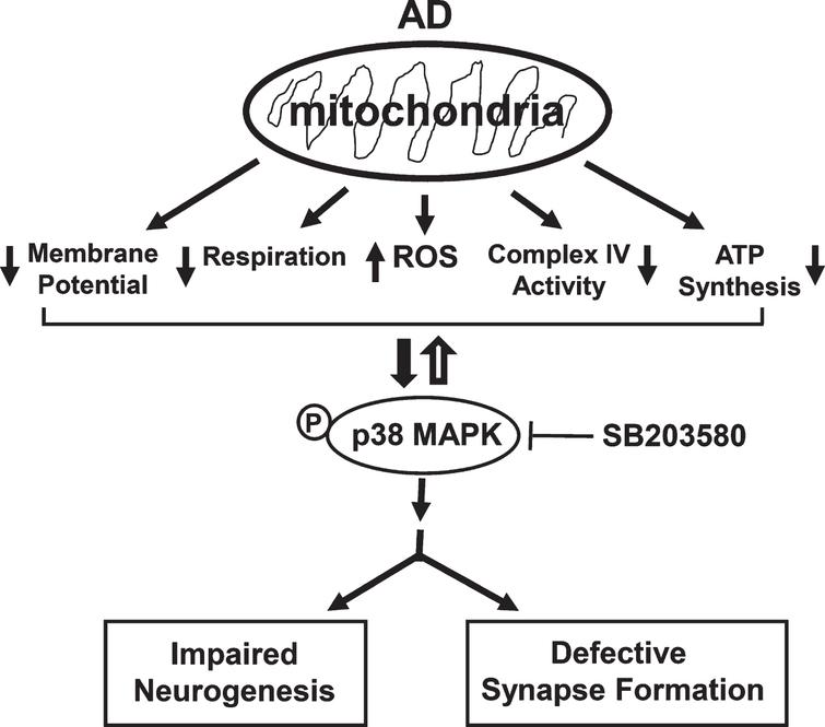 Mitochondrial Dysfunction Triggers Synaptic Deficits via