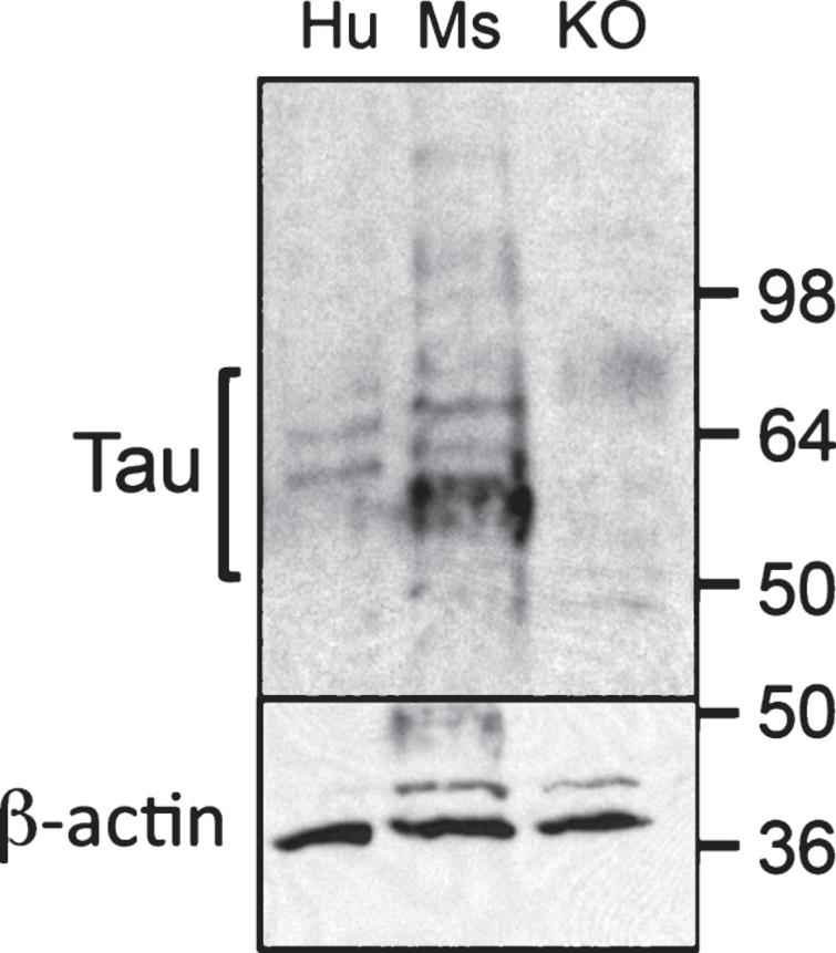 Tau expression in human and mouse islets. 35μg of total homogenates of pancreas from human (Hu), mouse (Ms), or murine tau knockout (KO) were resolved by SDS-PAGE and immunoblotted with poly clonal anti-tau [AB0024] (Dako, Burlington, Canada) to detect total tau (top immunoblot) or monoclonal anti-β-actin (Sigma, Oakville, Canada) to detect β-actin (bottom blot). Protein bands ranging from 55–66 kDa are present in pancreatic homogenates from human and wild-type murine tissue and absent in tau KO mice indicating that these bands represent tau isoforms.