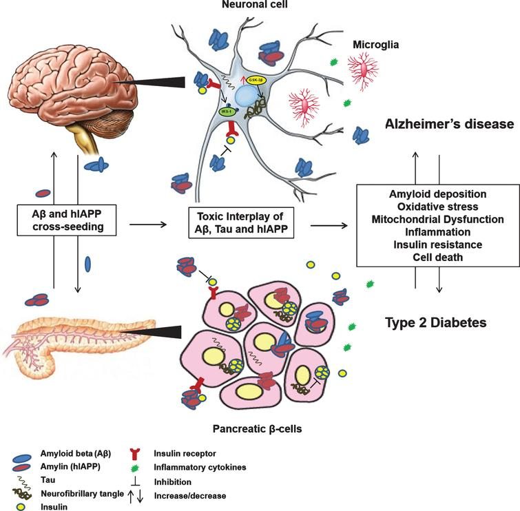 Mechanisms underlying the link between AD and T2D. AD and T2D are chronic degenerative conditions that share common pathological mechanisms, especially cell loss and abnormal deposition of amyloid proteins Aβ, tau, and amylin. Co-existence of Aβ, tau, and amylin proteins in brain and pancreas demonstrate their ability to cross-seed and promote amyloid accumulation and cell dysfunction in neuronal and pancreatic β-cells. Aβ, tau, and amylin can synergistically interact to promote amyloid deposition, oxidative stress, mitochondrial dysfunction, inflammation, insulin resistance and cell death eventually culminating to dysregulation of glucose metabolism and neurodegeneration in AD and T2D.