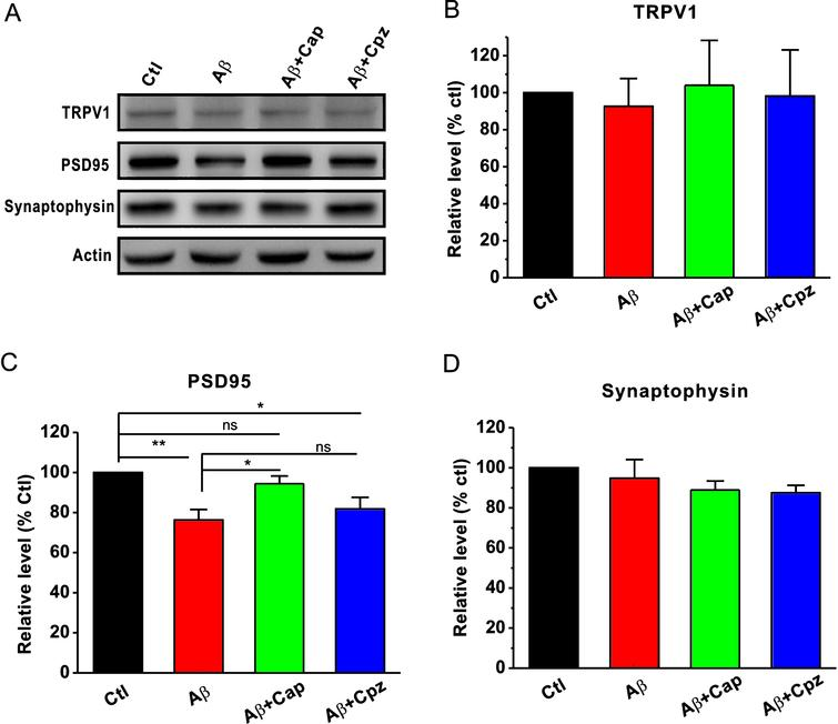 Capsaicin rescues the Aβ42-induced decrease in PSD95 expression in the hippocampus. A) Sequential immunoblotting of total tissue lysates of hippocampal tissues collected from animals after behavioral tests. The relative protein levels of TRPV1 (B), PSD95 (C), and synaptophysin (D) are normalized by the control (Ctl). One-way ANOVA: F(3,16)=0.062, p>0.05 for TRPV1; F(3,24)=6.331, p<0.01 for PSD95; F(3,12)=1.076, p>0.05 for synaptophysin. Values are expressed as mean±SEM (n=7), **p<0.01, *p<0.05.