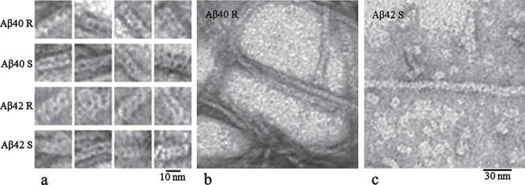 Electron microscopy images of Aβ1-40 and Aβ1-42 fibrils produced from synthetic (S) and recombinant peptides (R). Conditions for all samples: 5% DMSO, 50mM Tris-HCl, pH 7.5, incubation for 26h at 37°C. (a) Gallery of fibril fragments; (b) and (c) are fields of the Aβ40R and Aβ42S fibrils.