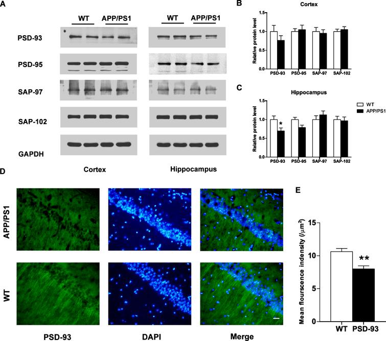 The expression of PSD-93 was decreased in the hippocampus of 6-month-old APP/PS1 mice. A) Western blotting was used to determine the levels of MAGUKs in the hippocampal and cortical lysates. The expression of PSD-93 was reduced in the hippocampus, and no significant change was shown in the cortex (n=4 per group). B, C) Quantification of the intensities normalized to GAPDH as a loading control. D) Immunofluorescence assay was used to detect the level of PSD-93 in the hippocampus. The expression of PSD-93 (green) was decreased in 6-month-old AD mice (n=4 per group), as analyzed in (E). DAPI: blue (as a location indicator). Scale bars, 50 μm. *p<0.05; **p<0.01. Error bars show SEM.