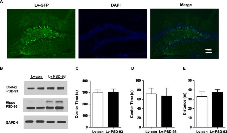 Lentivirus-medicated overexpression of PSD-93 in the hippocampus did not affect the basal activity of AD mice. The 6-month-old APP/PS1 mice were injected with lenti-PSD-93 (n=12) or lenti-con (n=13), and subsequently an open-field test was performed. A) Representative image of the lenti-PSD-93-injected hippocampus of APP/PS1 mice. Scale bars, 100 μm. B) The expression of PSD-93 was determined by western blotting. (n=4 per group) There were no significant differences in the corner time (C), center time (D), and distance (E) between Lv-con (n=13) and Lv-PSD-93 (n=12) group. Error bars show SEM.