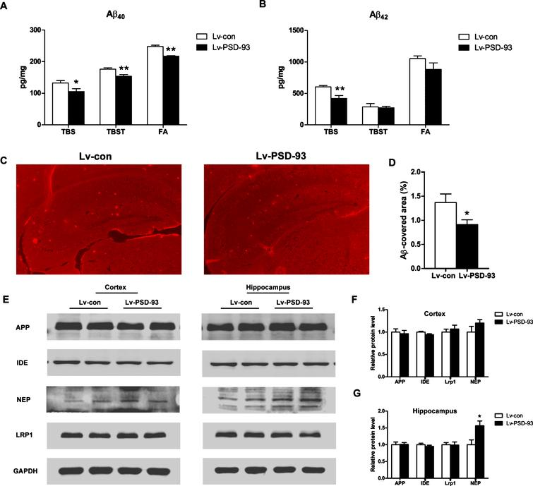 PSD-93 overexpression increased NEP level and decreased Aβ levels in the brains of APP/PS1 mice. A) The levels of Aβ40 in the brain were determined using ELISA (n=7-8 mice per group). The fraction of TBS-, TBS-X-, and FA-soluble were decreased in the Lv-PSD-93 group. B) The Aβ42 level of the TBS- fraction in the brains of Lv-PSD-93 group was decreased. No significant changes were observed in TBS-X and FA-soluble forms. C) Representative images of Aβ plaques in the hippocampus of lenti-PSD-93 injected APP/PS1 mice (n=4 mice per group). Scale bars, 200 μm. D) The counts of Aβ plaque load in the hippocampus. E) The levels of Aβ metabolism associated enzymes and AβPP were determined using western blotting (n=4-5 mice per group). The expression of NEP was increased in the hippocampus of Lv-PSD-93 mice. F, G) Quantification of the signal intensities normalized to GAPDH as a loading control. *p<0.05; **p<0.01. Error bars show SEM.