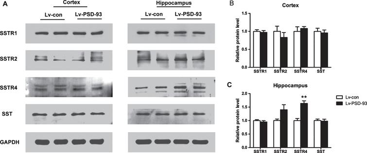 The expression of SSTR4 was increased in the hippocampus of Lv-PSD-93 APP/PS1 mice. A) The level of SSTR4 was increased in the hippocampus of Lv-PSD-93-injected AD mice but not in the cortex. The levels of SSTR1, SSTR2, and SST were not significantly changed in the hippocampus and cortex in the Lv-PSD-93 group. B, C) Quantification of the signal intensities normalized to GAPDH as a loading control. **p<0.01. Error bars show SEM.