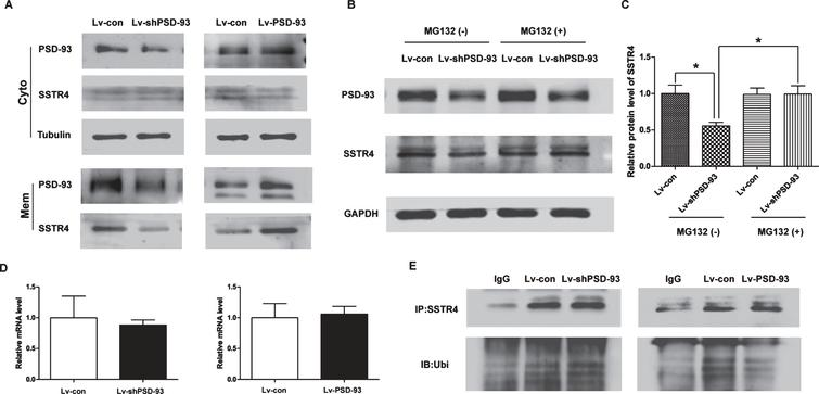 Ubiquitination of SSTR4 was changed by PSD-93 in the membrane fraction. A) The levels of SSTR4 in the membrane and cytoplasmic fraction affected by PSD-93 knockdown and overexpression were determined using western blotting. B) The effect of MG 132 on the level of SSTR4 after PSD-93 knockdown was determined by western blotting (n=4). C) Quantification of the signal intensities normalized to GAPDH as a loading control. D) Relative SSTR4 mRNA levels in the neurons of PSD-93 knockdown and overexpression was determined by real-time PCR. E) Representative immunoblot of overexpression and inhibition of PSD-93 in neurons affected ubiquitination of SSTR4 pretreated with MG132. *p<0.05. Error bars show SEM.