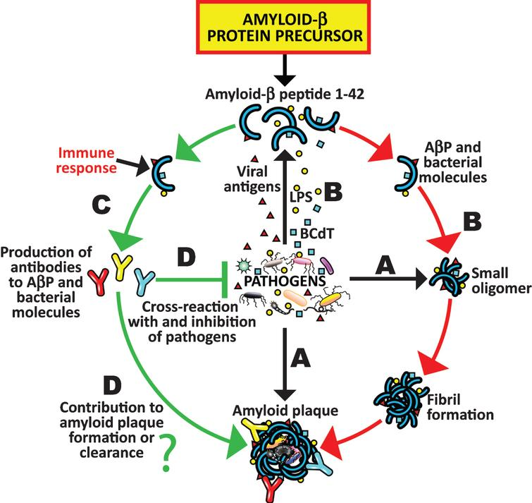 Reaction Of Amyloid-β Peptide Antibody With Different
