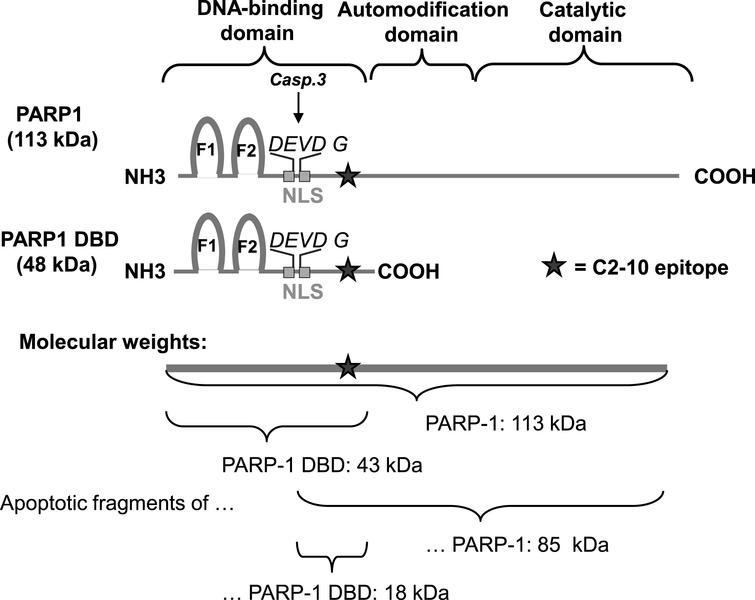 Features and approximate sizes of PARP1, PARP1 DBD and their apoptotic fragments. Caspase-3 cleavage of PARP1 takes place in the DEVD G amino acid sequence in the middle of the bipartite nuclear localization signal (NLS). The recognition site of the PARP1 specific antibody (clone C2-10) is depicted by a star. The molecular size of PARP1 protein is 113 kDa and the PARP1 apoptotic fragment recognized by the C2-10 antibody is ∼85 kDa. PARP1 DBD is 44 kDa in size and the apoptotic fragment of PARP-1 DBD recognized by C2-10 is ∼18 kDa.