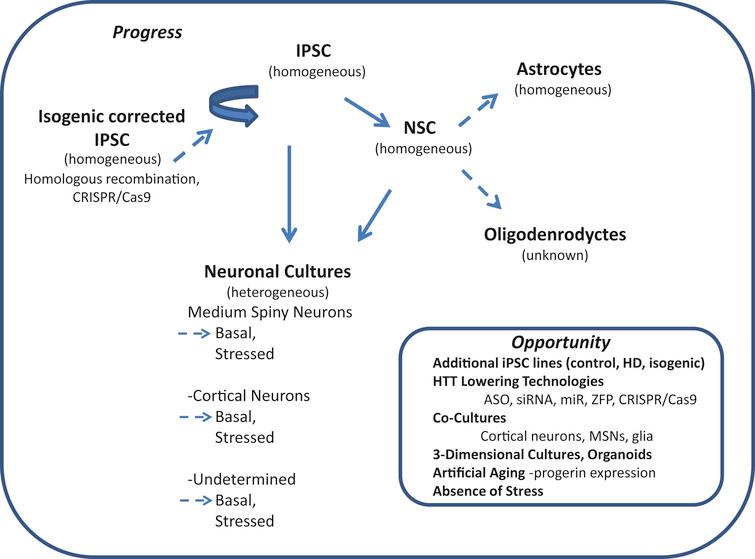 Induced pluripotent stem cells (iPSC) in Huntington's disease research: progress and opportunity. Schematic shows cell types of the neural lineage that can be differentiated from iPSCs. The relative purity attainable of differentiated cultures is indicated in parenthesis (homogeneous or heterogeneous). Differentiated cultures are rarely 100% pure but may reach 95% homogeneity depending on cell type. Neuronal cultures often contain significant numbers of glia including Nestin-positive neural stem cells (NSCs), astrocytes and oligodendrocytes (heterogeneous). Dotted arrows highlight areas where more studies are needed.