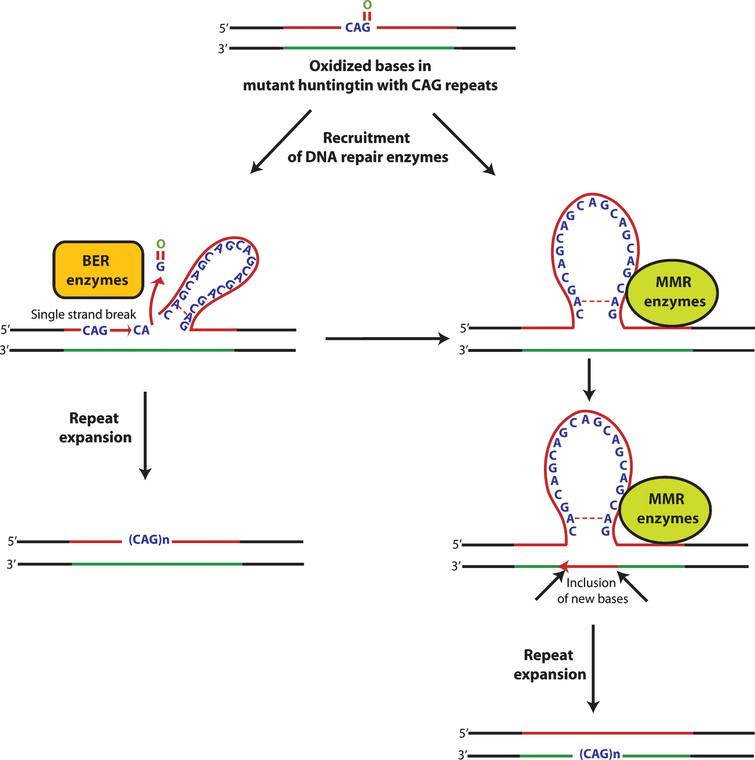 A coupled chain of oxidation-repair cycle leads to expansion and instability of huntingtin polyglutamine repeats. DNA oxidation induces an adaptive response in the form of recruitment of DNA repair enzymes. These enzymes are recruited in response to either hairpin loop structure or other secondary structures formed either because of oxidized bases and/or base mismatches leading to strand slippage and instability. Moreover, a complex cyclic interplay between oxidized bases and DNA repair enzymes leads to further expansion of trinucleotide repeats and its instability.