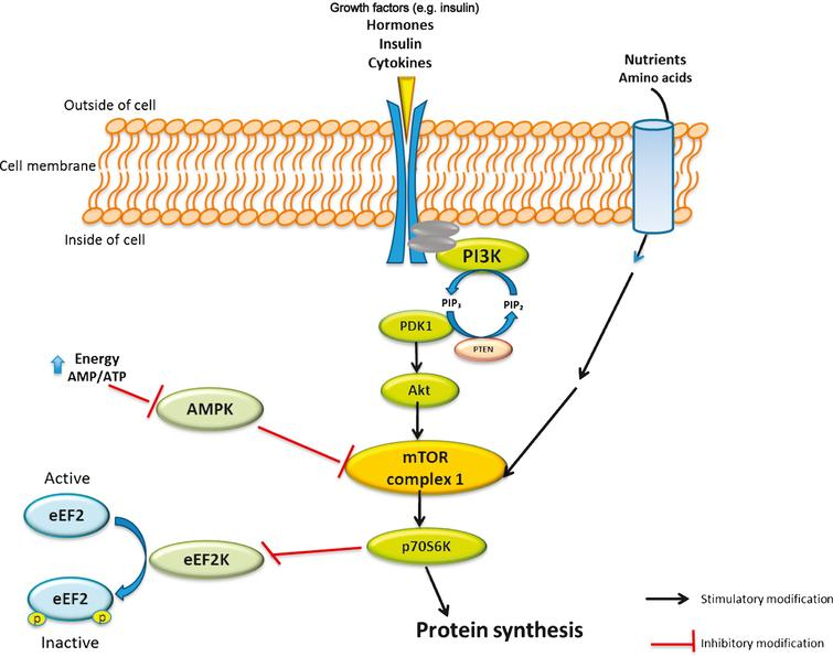 Simplified view of mammalian target of rapamycin (mTOR) signalling pathway and role of amino acids and leucine in skeletal muscles protein synthesis. mTOR is a conserved serine/threonine kinase involved in many signal transduction pathways within the body, regulating cell growth and homeostasis. The mTOR pathway is activated by insulin, growth factors and amino acids. Activation of mTOR results in the phosphorylation of specific proteins that ultimately phosphorylate and activate p70 ribosomal S6 protein kinase (p70S6K), which triggers a cascade of responses that subsequently results in protein biosynthesis. 5' adenosine monophosphate-activated protein kinase (AMPK) is also a key regulator of cellular energy homeostasis. AMPK can sense the cellular energy level and down-regulate the cellular pathways that consume ATP in case of decreased cell energy content. Eukaryotic elongation factor 2 (eEF2) in its active form results in activation of overall translation elongation in protein synthesis. PIP2 indicates phosphatidylinositol 4,5 bisphosphate; PIP3, phosphatidylinositol (3,4,5)-trisphosphate; PTEN, phosphatidylinositol-3,4,5-trisphosphate 3-phosphatase; PDK1, 3-phosphoinositide dependent protein kinase-1; eEF2K, eukaryotic elongation factor 2 kinase; p, phosphate; AMP, adenosine monophosphate; ATP, adenosine triphosphate.