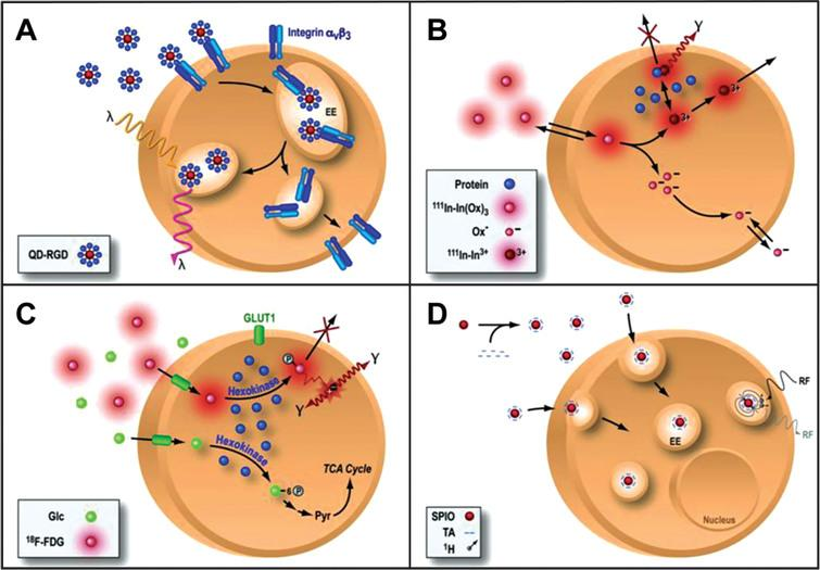 Direct cell labeling. In a direct labeling strategy, labeling agents are introduced ex-vivo, stem cells are then transplanted to the tissue/organ of interest, and then non-invasive imaging is performed. Direct labeling can be achieved with fluorescence (quantum dots, QD, panel A), single photon emission computed tomography (SPECT) imaging 111-Indium (111In, panel B), positron emission tomography (PET) for the imaging of 18Fluorine-Fluorordeoxyglucose (18F-FDG, panel C) or magnetic resonance imaging (MRI) using superparamagnetic iron oxide particles (SPIO, panel D). Reprinted from Chen IY, et al. Cardiovascular Molecular Imaging: Focus on Clinical Translation. Circulation 2011; 123(4): 425-443 with permission.