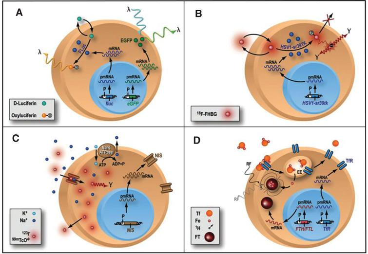 Different types of reporter gene/reporter probe strategies. (A) Enzyme-based bioluminescence imaging. D-Luciferin is a substrate molecular probe that is acted upon by the enzyme Firefly Luciferase to result in bioluminescence via a chemiluminescent reaction under physiological conditions only within living cells expressing the firefly luciferase (fluc) gene. (B) Enzyme-based PET imaging. transgene expression of a mutant herpes simplex virus type 1 thymidine kinase (HSV-sr39tk) reporter gene leads to the thymidine kinase enzyme (HSV1-sr39TK), which phosphorylates the PET reporter probe 9-(4-18F-fluoro-3-hydroxymethylbutyl)guanine (FHBG) and traps it intracellularly. Radioactive decay of 18F leads to positron (+) emission and subsequent annihilation with a nearby electron (–) to produce 2 oppositely directed gamma rays as cell signal C) Receptor-based SPECT imaging. expression of sodium iodide symporter (NIS) reporter gene leads to insertion of sodium iodide symporters into the cell membrane, where they import either 123I– or technetium pertechnetate (99mTcO4–) as reporter probe, along with sodium ion (Na+), into the cytosol. Imagig is performed with SPECT D) MRI: transgene expression of either ferritin heavy chain (FTH) or ferritin light chain (FTL) MR reporter gene leads to the assembly of ferritin (FT) proteins, which can sequester intracellular iron (Fe). The paramagnetic properties of iron allow them to be imaged with MRI. Reprinted from Cardiovascular Molecular Imaging: Focus on Clinical Translation. Chen IY, Wu JC. Circulation 2011:123(4): 425-443 with permission.