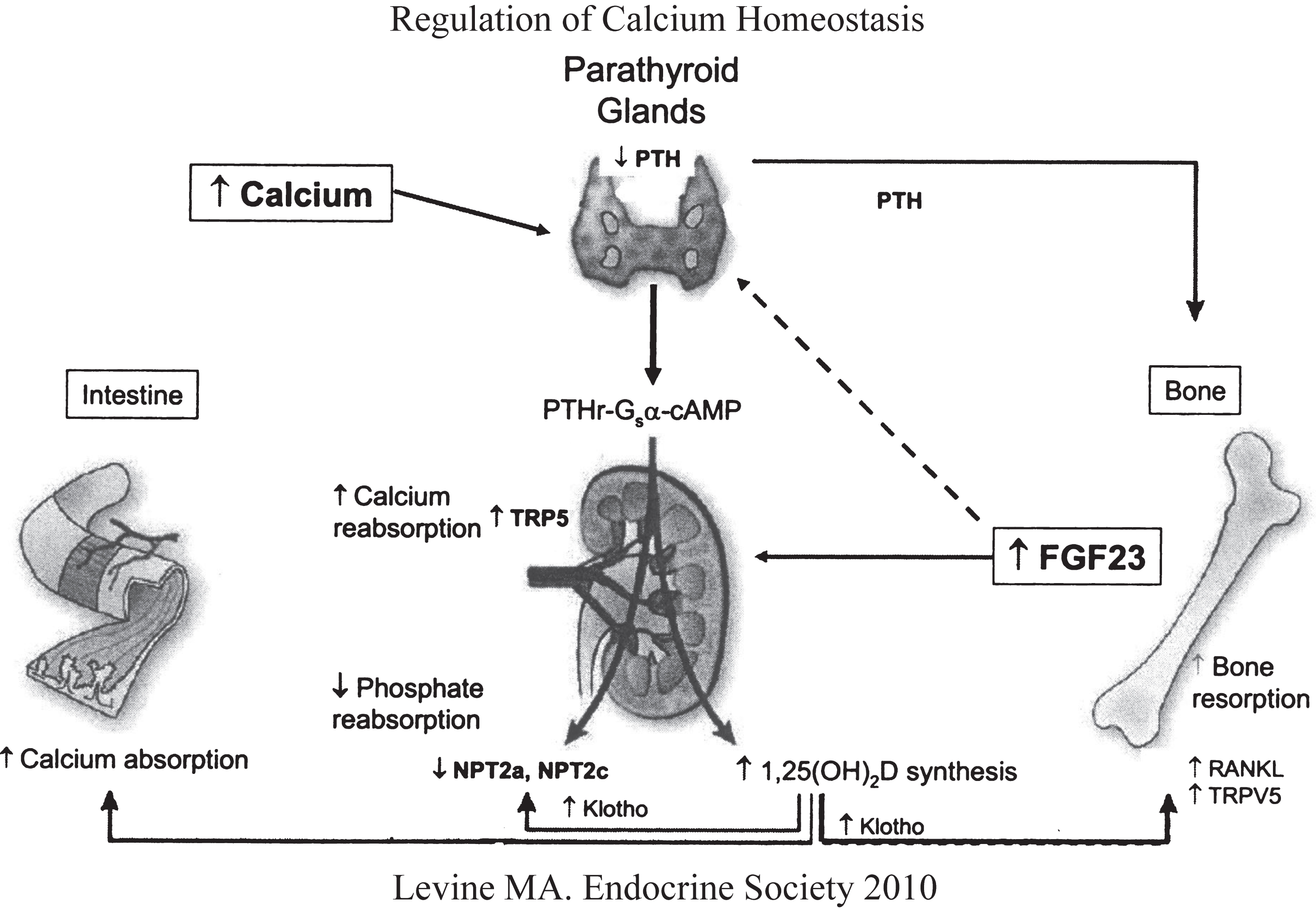 Geic Disorders Of Calcium Phosphorus And Bone Homeostasis Ios. Regulation Of Calcium And Phosphate Homeostasis By The Parathyroid Glands Bone Kidney. Wiring. Bones In Calcium Homeostasis Diagram At Scoala.co