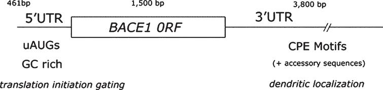 BACE1 open reading frame flanked by its 5' and 3' untranslated regions (UTRs). Schematic representation depicting BACE1 transcript structure. Note how BACE1 3'UTR is almost 2.5 times larger than the protein coding region (ORF). In addition, BACE1 3'UTR contains two cytoplasmic polyadenylation (CPE) motifs (UUUUAU) and accessory sequences (AAUAA) that facilitate dendritic mRNA sorting by the CPE-binding protein (CPEB) [307]. BACE1 5'UTR, in turn, gates translation initiation combining the inhibitory effect of 1) upstream initiation codons (uAUGs) and 2) stable secondary structure deriving from a high GC-content (∼75 %).