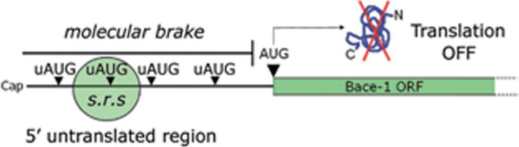 """uAUGs contribution in gating BACE1 translation. BACE1 transcript leader, alternatively named 5'untranslated region (5'UTR), hinders BACE1 translation initiation under basal conditions. Upstream initiation codons (uAUGs) present in BACE1 5'UTR """"seduce"""" the small ribosomal subunit and prevent it from reaching the main open reading frame (ORF). As a consequence, BACE1 translation will be kept at a low, insignificant rate. This situation will be reversed only following a drop in ternary complex availability."""