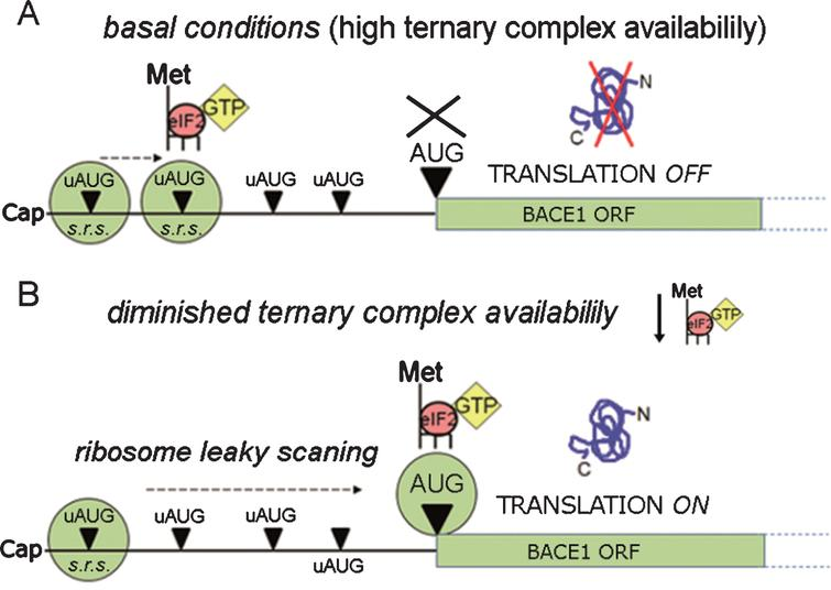 BACE1 translation facilitation. BACE1 translational repression can be by-passed by ribosomal leaky scanning & reinitiation, a condition requiring a lowering in ternary complex availability. As depicted in the diagram, when ternary complex availability is high (A, basal conditions) translation initiation can occur at high frequency at the uAUGs, preventing translation of BACE1 from its main ORF. Conversely, when the availability of ternary complexes diminishes (B) there is a drop in the formation of active ribosomal complexes, leading to a decreased recognition of upstream AUGs (ribosome leaky scanning) and to a and more frequent recognition of the main ORF allowing BACE1 protein synthesis to start. s.r.s., small ribosomal subunit.