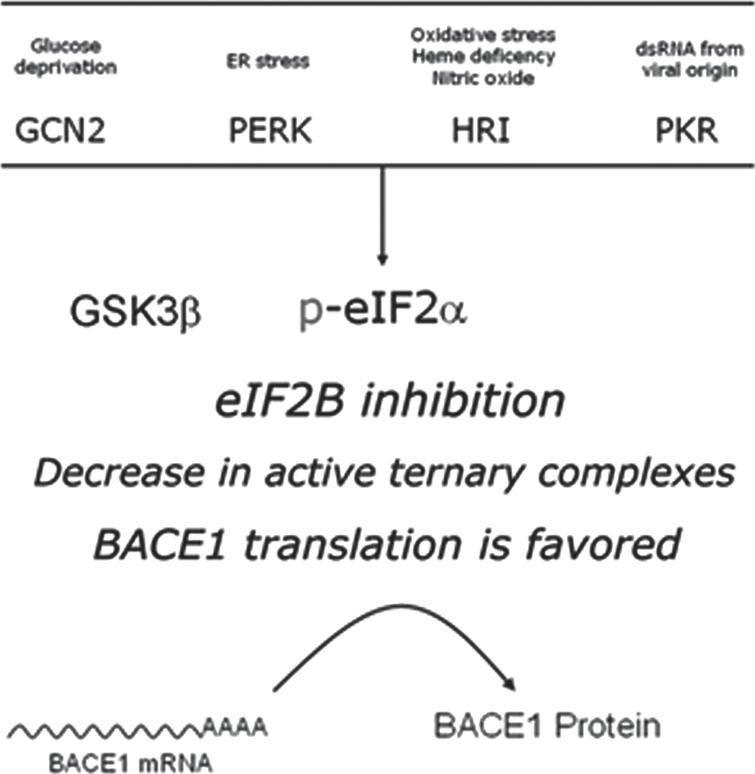 Intracellular signaling converging in eIF2B inhibition. The guanine-exchange activity of eIF2B can be modulated in response to stimuli conveyed by two alterative pathways. On the one hand, phosphorylation of the eukariotic initiation 2-alpha (eIF2α) is mediated by four different stress-activated eIF2α kinases (PERK, PKR, HRI, and GCN2), resulting in a competitive blockade of eIF2B. On the other hand, the otherwise constitutively inhibited Glycogen synthase kinase 3β (GSK3β), when released from its inhibition, catalyzes a direct inhibitory phosphorylation upon eIF2B. s.r.s., small ribosomal subunit.
