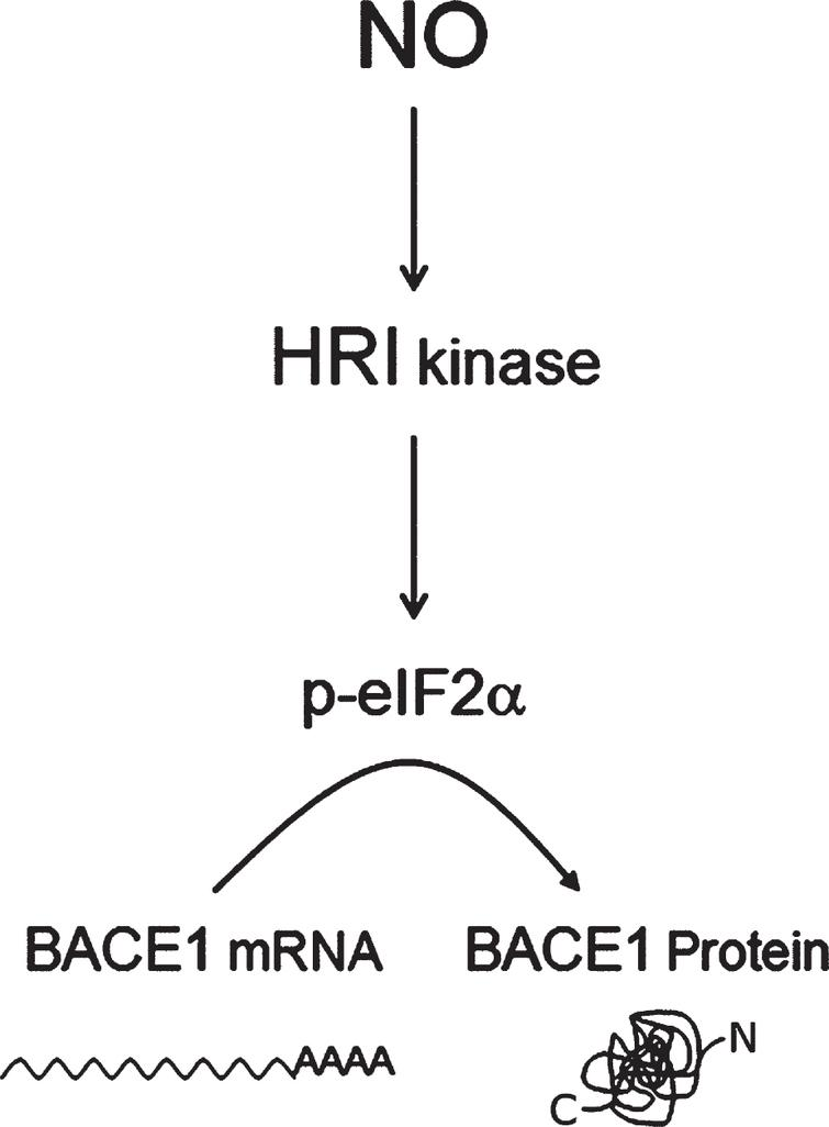 Three-step pathway model for NO-induced BACE1 translation activation. The heme-regulated eIF2α kinase (HRI), a nitric oxide sensor, appeared to be a plausible node connecting nitric oxide (NO) stimulation with BACE1 expression, through phospho-eIF2α-mediated BACE1 translational de-repression. Other uAUG-bearing transcripts such as GluN2B [149] respond in a similar way to NO/HRI induced eIF2-phosphorylation, opening the possibility that NO behaves as a general translational facilitator for uAUG-bearing transcripts.