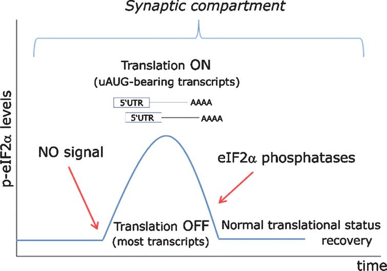 Proposed model for eIF2α-mediated translational control at the synapse. In a resting state exempt of cellular stress, nitric oxide (NO)-HRI signaling induces a peak in eIF2α phosphorylation levels, which are rapidly turned back to their basal state through the action of eIF2α-phosphatases. Such transient rise in eIF2α levels triggers the timely translation of synaptically polarized uAUG-bearing mRNAs, while temporarily arresting general protein translation. Importantly, such signaling model can only be effective when cellular stress does not interfere with eIF2α phosphorylation through the action of other eIF2-kinases (PERK, PKR, GCN2) or even an eventually stress-activated HRI.