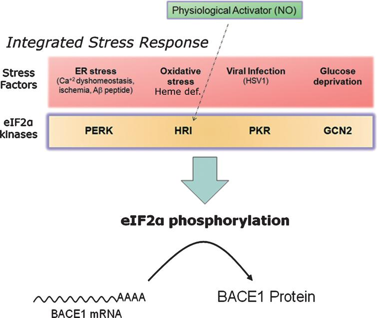 Nitric oxide: a master physiological mediator hovering above the integrated stress response? The four existing eIF2α-kinases (PERK, PKR, HRI, GCN2) share a common catalytic-domain and harbor different activator-domains endowing each kinase with a differential sensitivity to stress. Following stress sensing, eIF2α-kinases phosphorylate eIF2α and shut down protein translation in a process known as integrated stress response. This process aims, for example, at securing metabolic resources under energy deprivation conditions, alleviating protein load in the endoplasmic reticulum under missfolding protein conditions, or at avoiding the translation of exogenous proteins from viral origin. In the absence of stress, nitric oxide (NO) signals through the Heme-regulated eIF2α-kinase (HRI), activating thereby BACE1 translation from its mRNA in a physiological setting.