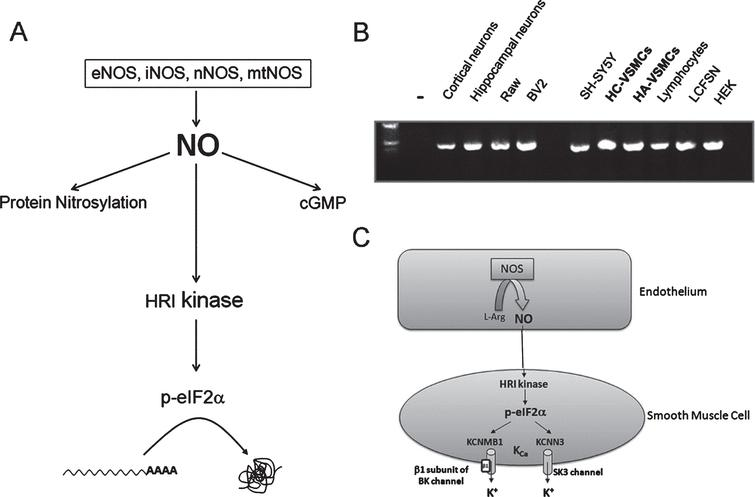 Heme-regulated eIF2α-kinase (HRI) activation by nitric oxide (NO) (A), HRI mRNA expression in different cellular types (B), and hypothetical model for NO/HRI-induced translational activation of cationic channels at the vascular wall (C). A) Diagram depicting NO-mediated signaling, including HRI kinase activation. HRI kinase activation by nitric oxide may constitute a third branch of NO-mediated intracellular signaling, by which translation initiation in uAUG-bearing transcripts becomes facilitated. B) Profile of HRI mRNA expression in different cellular types. HRI mRNA expression was detected in all the cellular types assayed, including human aortic vascular smooth cells (HA-VSMCs) and human cerebral vascular smooth cells (HC-VSMCs). (–), negative control without input RNA. C) Hypothetical model for NO/HRI-induced translational activation of cationic channels at the vascular wall. After NO is synthesized in the endothelial cells, it diffuses to the adjacent VSMC where, theoretically, it could activate the VSMC-resident HRI kinase; this would in turn facilitate the translation of uAUG-bearing transcripts such as those coding for the β1 subunit of the BK channel (KCNMB1), and the SK3 channel (KCNN3), respectively. Both cationic channels depicted in the figure (KCNMB1 and KCNN3) are calcium activated potassium channels (K Ca). eNOS, endothelial nitric oxide synthase; nNOS, neuronal nitric oxide synthase; mtNOS, mitochondrial nitric oxide synthase; iNOS, inducible nitric oxide synthase; Cell lines: Raw, macrophages; BV2, microglia; SH-SY5Y: human neuroblastoma; LCFSN: traqueal epithelial. Primers used for semi-quantitative RT-PCR amplification: AGGAACAAGCGGAGCCG(mHRI_F); CCGACCAGTCCTTACGCC (mHRI_R). [446bp amplicon].