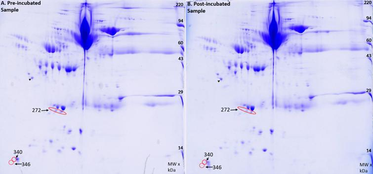 2D gel image of A) Pre-incubated sample and B) the Post-incubated sample. Red circles indicate decreases in protein found in the post incubated sample. The black arrow points to an internal loading control.