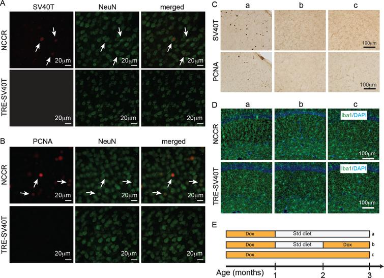 Forced neuronal cell cycle re-entry induces microglia activation. A) Immunofluorescence labeling shows SV40T and NeuN co-label (arrows) in 4-month-old NCCR mice (n=4). TAg control animals (n=4) do not show SV40T immunofluorescence. B) Immunofluorescence labeling shows PCNA and NeuN co-label (arrows) in 4-month-old NCCR mice (n=4). TAg control animals (n=4) do not show PCNA immunofluorescence. C, a) NCCR animals (n=3) maintained on standard (Std) diet starting at 1 month of age and examined at 3 months of age show persistent expression of SV40T and PCNA (marker of cell cycle activation) in the cortex (shown) and hippocampus (data not shown). C, b) The SV40T expression is tightly regulated by dox diet in the NCCR mice. SV40T and PCNA stains are absent in a separate group of NCCR mice (n=3) that are put back on dox diet at 2 months of age and examined at 3 months of age. C, c) The NCCR animals that are continuously maintained on dox diet (n=3) do not show any SV40T or PCNA stains. D, a) The same animals in Ca show Iba-1 labeled rod-like activated microglia in the hippocampus. TAg control animals maintained in the same diet regimen do not show rod-like microglia. D, b) The rod-like microglia in the NCCR animals become morphologically less pronounced in the hippocampus when they are put back on dox diet for 1 month. D, c) When the NCCR animals are always maintained on dox diet (SV40T is chronically turned off), the microglia display morphological features and distribution patterns typical of resting microglia that are similar to TAg control animals (TRE-SV40T) under different diet treatment conditions. E) Schematic showing the different diet treatments used in the experiment. Lower case letters next to the treatment conditions correspond to the lower case letters shown in the image panels in C and D. Scale bar=100 μm.