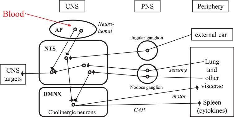 """Neuroanatomical connectivity of the dorsal vagal complex in human brainstem: the """"vital node"""" of pioneer physiologists. Round symbols represent neuronal perikarya. Arrows with blunt end symbolize axonal presynaptic endings. AP, area postrema; CAP, cholinergic anti-inflammatory pathway; CNS, central nervous system; DMNX, dorsal motor nucleus of the vagus; NTS, nucleus tractus solitarius; PNS, peripheral nervous system; IVth, fourth intracerebral ventricle."""