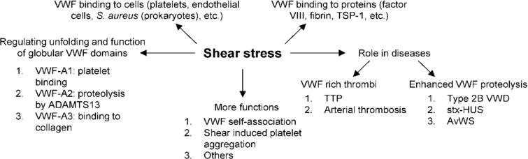 Role of shear stress in VWF related biology. Shear stress exerts force on multimeric VWF and causes structural changes in globular A1, A2 and A3 domains, allowing them to carry out their respective functions. Shear stress also regulates the binding of VWF to various plasma proteins and surface receptors on platelets, endothelial cells and even prokaryotic cells in circulation. In a number of different blood disorders, high shear stress either causes enhanced VWF proteolysis (bleeding disorders) or the formation of VWF-rich thrombi (thrombotic disorders). Finally, shear stress is important for VWF and platelet aggregation in physiology. Abbreviations: Shiga-toxin-hemolytic uremic syndrome (stx-HUS), thrombotic thrombocytopenic purpura (TTP), acquired von Willebrand syndrome (AvWS).