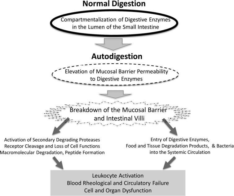 Schematic diagram of key events during the transition from normal digestion into autodigestion and its extensive consequences in the central circulation, including leukocyte activation, blood rheological changes to the point of full organ failure.