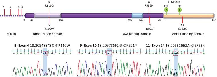 Top panel: Protein domains of human CtIP. The N-terminus of human CtIP contains the dimerization domain (amino acids 40–165) [30]. In vitro CtIP shows DNA-binding activity, which could play a role in recruitment to DSBs (amino acids 509–557) [12]. Interaction with the MRN complex has been shown to occur at both the N-terminal region (amino acids 22–45) and the C- terminal region (amino acids 650–897) of CtIP [13, 31]. Signalling via two ATM phosphorylation sites (S664 and S745) are conserved in vertebrates [32]. The location of non-synonymous variants are shown. Known variants 1–4, 6 and 8 are labelled at the top whereas novel variants 5, 9, 11 are below. Synonymous variants 7 and 10 are not shown. See Table 2 for variant identities. Bottom Panel: Sanger sequencing traces for validation of three novel variants; 5, 9 and 11.