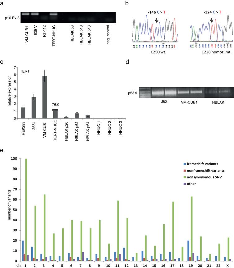 Characterization of genetic changes in HBLAK cells. (a) Deletion of CDKN2A/p16INK4 exon 3 confirmed by PCR amplification of genomic DNA of various HBLAK passages. Urothelial carcinoma cell lines retaining expression of p16INK4 (VM-CUB1, 639-V) and experimentally immortalized normal NHUC cells (TERT-NHUC) served as positive controls. The UC cell line RT-112 with a homozygous deletion of CDKN2A served as a negative control. (b) Sanger sequencing revealed the most common TERT promoter mutation (C228T) in HBLAK, whereas C250 was retained. (c) TERT mRNA expression was determined by real time qRT-PCR in different passages of HBLAK cells compared to non-immortalized NHUC cells of different patients, TERT-NHUC and further cell lines with wildtype (HEK293, 253J) and mutant (VM-CUB1) TERT promoter. TBP was used as a reference gene. Note that TERT expression in TERT-NHUC is much higher than that of all other cell lines (76.0). (d) The full-length transcript of p53 was detectable in HBLAK by RT-PCR, but weakly expressed compared to urothelial carcinoma cell lines J82 and VM-CUB1. The amplification product was used for subsequent Sanger sequencing of the amplicon revealing that HBLAK cells contain wildtype p53. Left lane: size markers. (e) Overview of variant frequency by chromosome in HBLAK cells compared to the hg19 reference genome per chromosome as detected by exome sequencing. For each chromosome, frameshift (blue), nonframeshift (red), and nonsynonymous (green) variants are indicated. Other types are detailed in Table 4 and all variants are listed individually in supplementary file, sheet 2.