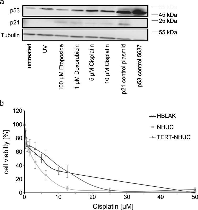 Sensitivity of HBLAK cells towards cytotoxic treatment. (a) Molecular response to cellular stress induced by UV radiation (40 J/m2) or the indicated concentrations of Cisplatin, Etoposide and Doxorubicin (all 24 h) by western blot analysis of p53 and p21. α-Tubulin was detected as a loading control. The UC cell line 5637 and cells transfected with a p21 plasmid served as positive controls for p53 and p21, respectively. (b) Sensitivity of HBLAK towards treatment with Cisplatin for 72 h determined by MTT assay. Mean results from triplicate assays are shown. IC50 concentrations ranged around 5 μM. For comparison TERT-NHUC cells and three different passages of a primary NHUC cultured were treated accordingly.