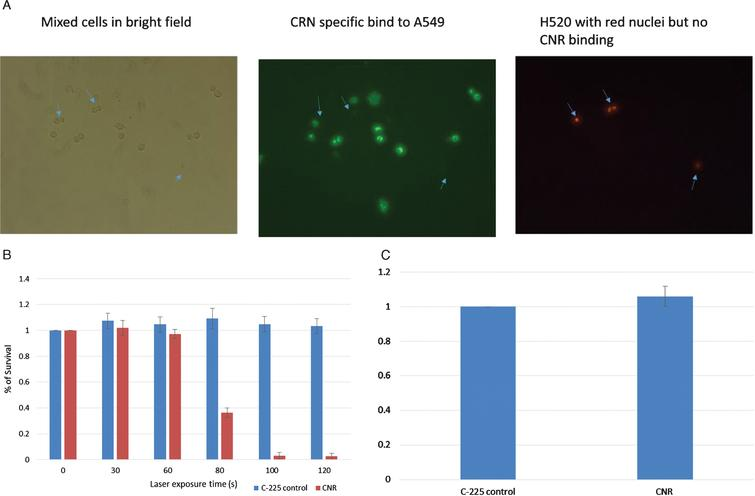 In vitro testing. EGFR-negative H520 (NucLight red) were mixed with EGFR-positive A549 cells (Fig. 1A). The left panel shows bright field images of all cells, the middle panel shows green fluorescence of the CNR binding the EGFR-positive A549 cells (Donkey anti human Dylight labelled secondary antibody) and the Right panel shows the Red fluorescing H520 cells (location indicated by the blue arrows in each panel). MB49 bladder cancer cells were treated with CNR and laser at increasing exposure duration with cell survival assessed by MTT assay. Standard deviation is shown (Fig. 1B). MB49 cells were incubated with the guiding C-225 antibody and the CNR construct to assess any inherit toxicity from the CNR in the absence of laser. An MTT assay was performed after 5 days (Fig. 1C).
