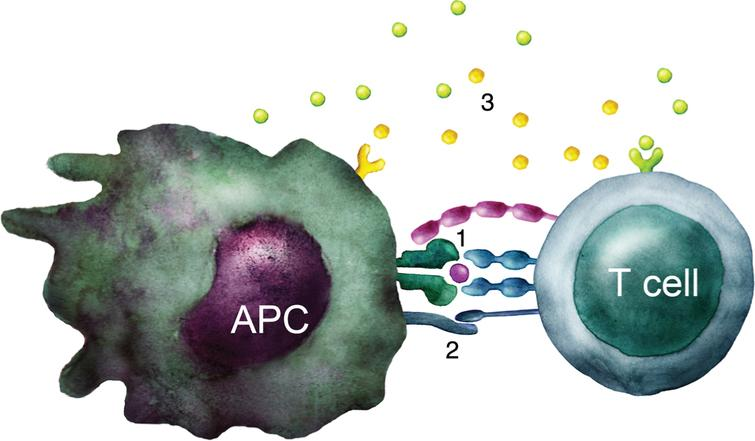 T cell activation. Schematic illustration of the three signals required to activate a naïve T cell: 1) TCR stimulation by recognition of peptide-MHC complex. 2) Costimulation through e.g. CD28 interaction with B7 molecules such as CD80 and CD86. 3) Cytokines that influence the type of immune response developed.