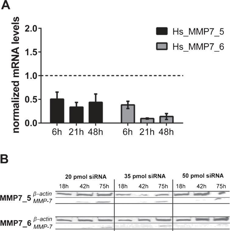 (A) MMP7 gene silencing using small interfering RNAs (siRNAs) in HT1197 cells. Knockdown efficiencies of two distinct siRNAs (MMP7_5, MMP7_6) were determined at indicated post-transfection time points using qRT-PCR. The knockdown efficiency was normalized to cells transfected with scrambled siRNA (siCo=1, dashed line). (B) Western blot analysis of cells treated with different amounts of siRNAs (20, 35, 50 pmol) were performed 18h, 42h and 75h post-transfection.